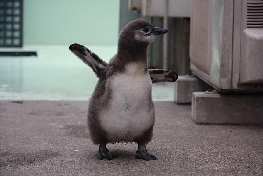 時期によっては、ぼくたち『ケープペンギン』のヒナもいるよ〜