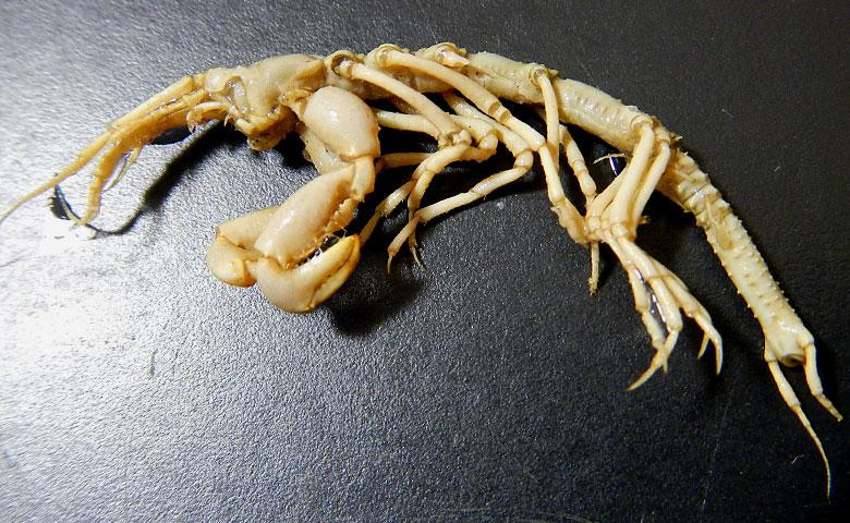 超深海甲殻類エンマノタナイスの標本