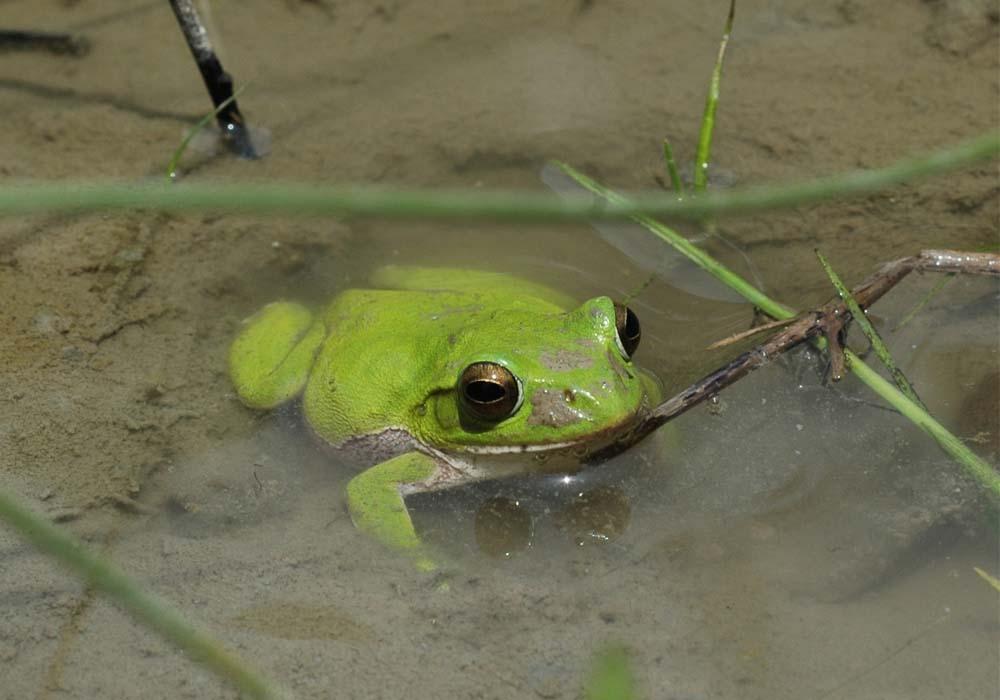 まもなく梅雨到来! この時期、カエルたちは何をしているの?