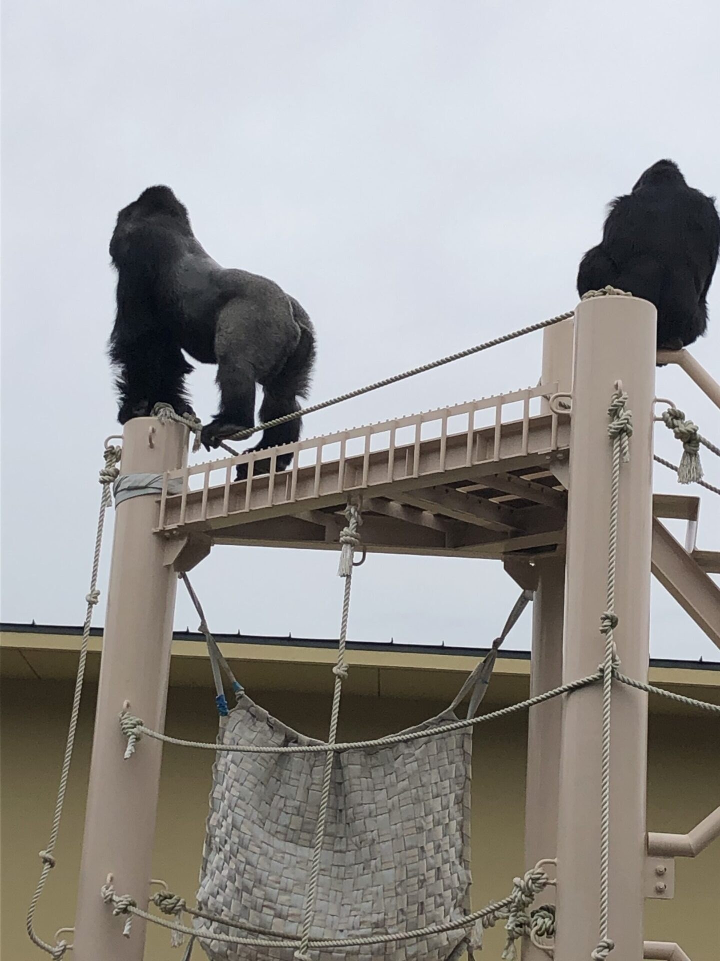 『東山動物園』のゴリラのキュートなお尻。