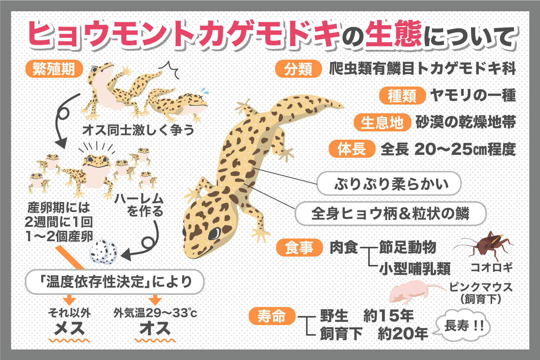 繁殖期にハーレムを作っちゃう!?ヒョウモントカゲモドキの生態について調べてみた